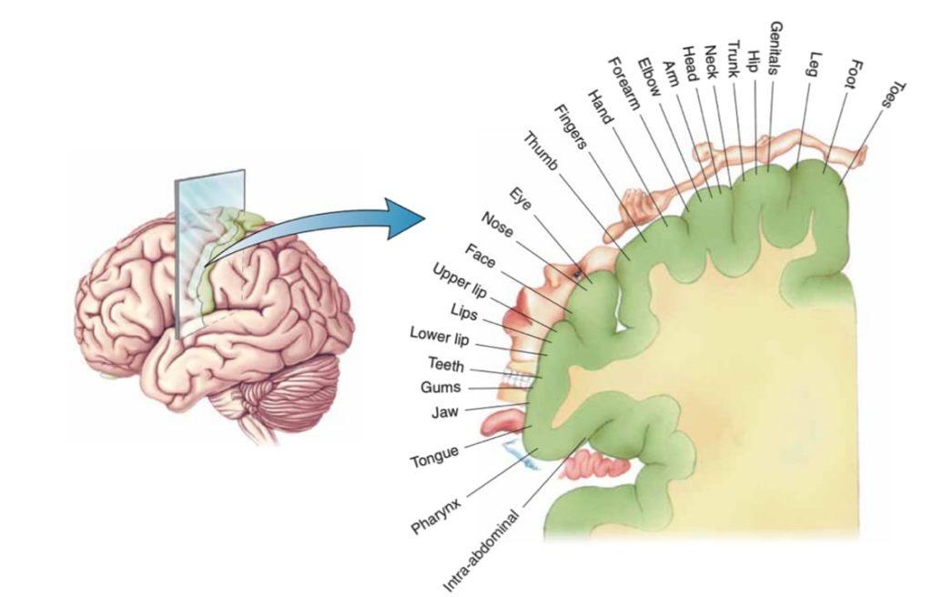 Związek zgryz okluzja mózg